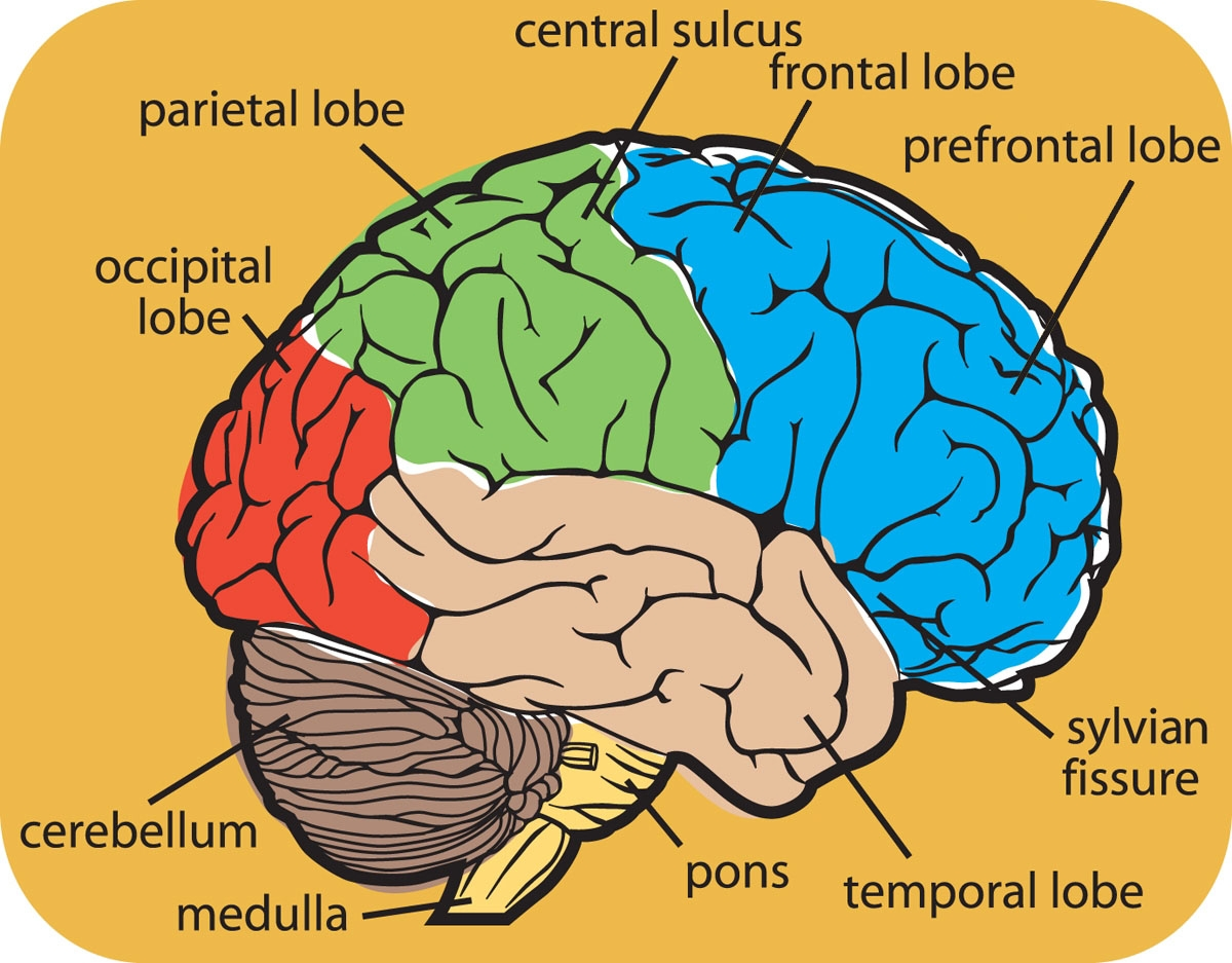 the brain structure - Sukuul e-Learning Center