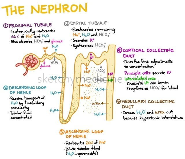 Kidney structure nephron sukuul e learning center this is a summary of kidney nephrons explained in diagrams nephron ccuart Images